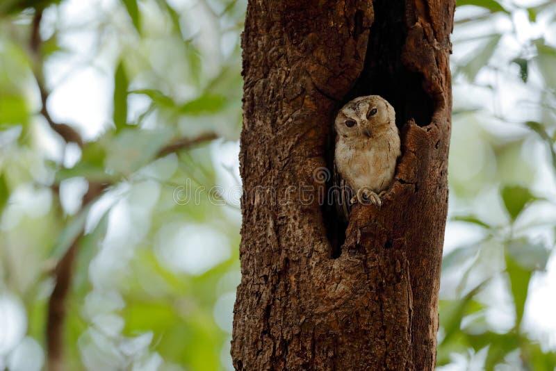Indische scopsuil, Otus-bakkamoena, zeldzame vogel van Azië De mooie uil van Maleisië in de aard boshabitat Vogel van India Visse royalty-vrije stock fotografie