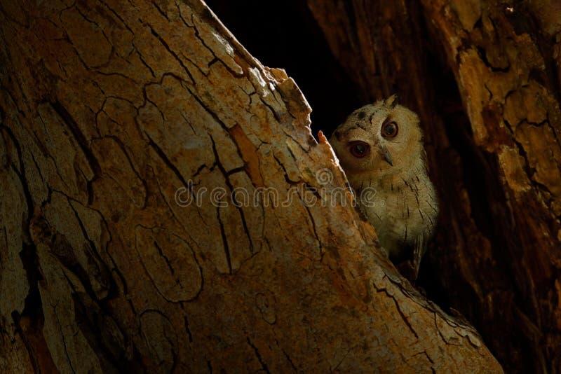 Indische scopsuil, Otus-bakkamoena, zeldzame vogel van Azië De mooie uil van Maleisië in de aard boshabitat Vogel van India Visse stock afbeeldingen