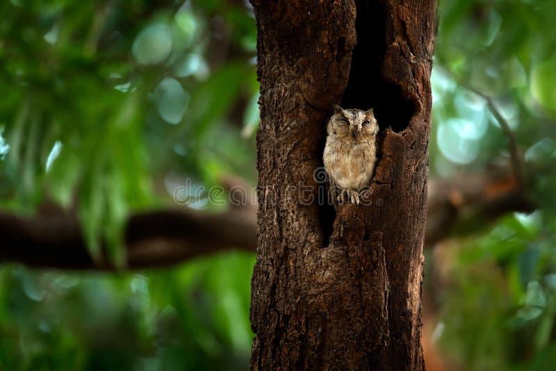 Indische scopsuil, Otus-bakkamoena, zeldzame vogel van Azië De mooie uil van Maleisië in de aard boshabitat Vogel van India Visse royalty-vrije stock afbeeldingen