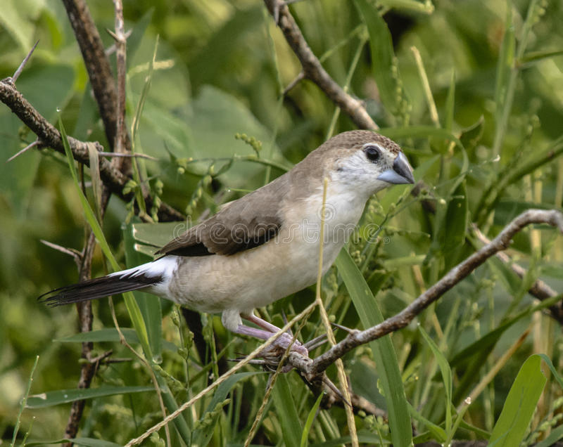 Indische Silverbill stock afbeelding