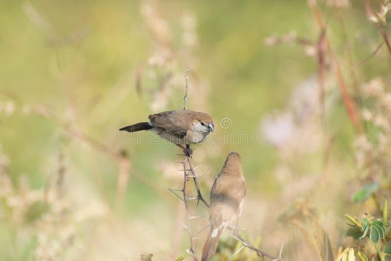 Indische Silverbill of het Wit throated Munia stock fotografie