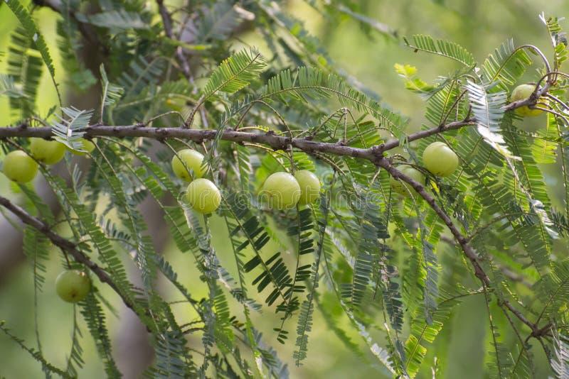 Indische Stachelbeere oder Früchte und Baum Amla stockfotografie