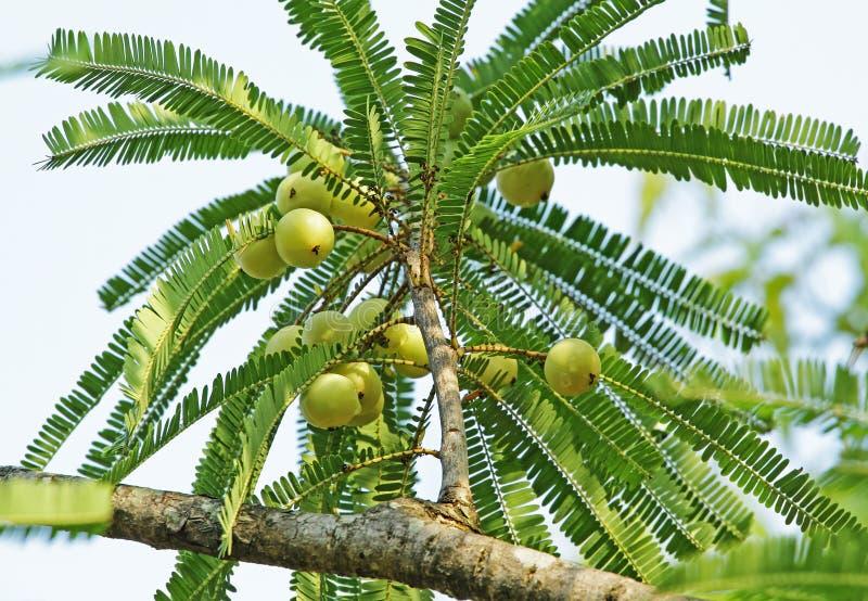 Indische Stachelbeere, Phyllanthus Emblica lizenzfreies stockbild