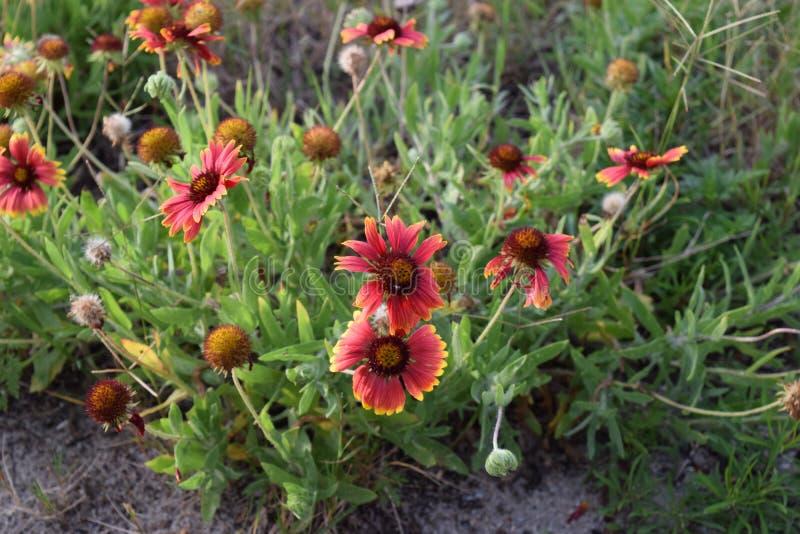 Indische umfassende Blume lizenzfreie stockfotografie