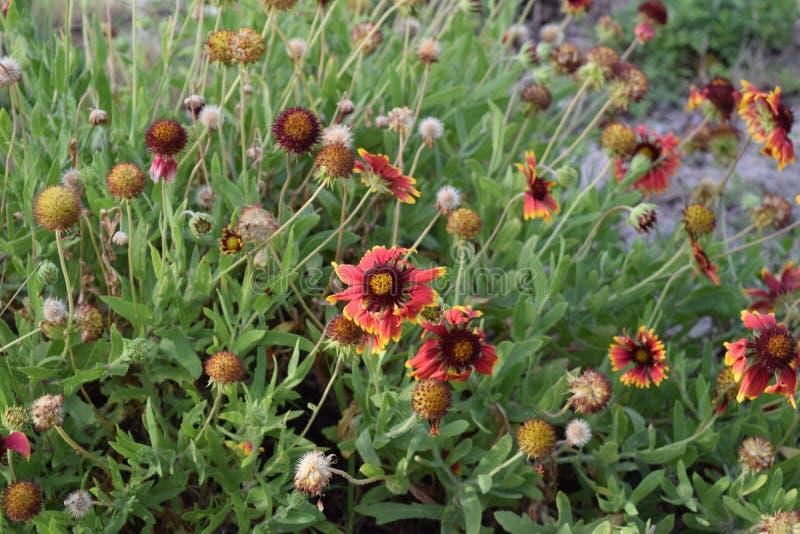 Indische umfassende Blume stockbild
