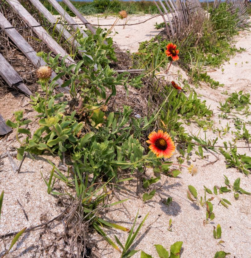 Indische umfassende Wildflowers auf Rutherford Beach, Cameron Parish Louisiana lizenzfreies stockfoto