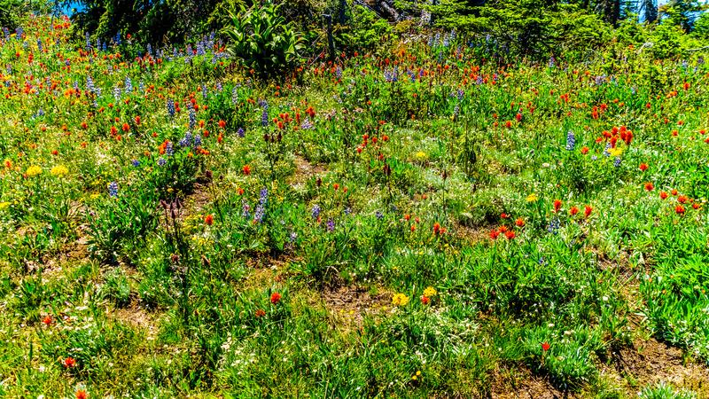 Indische Verfborstel en andere Wildflowers in hoge alpien in volledige bloei royalty-vrije stock fotografie