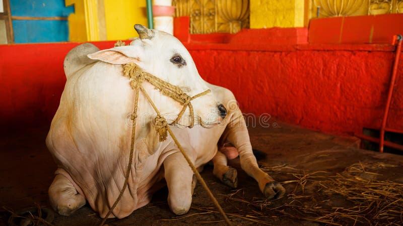 Indische witte stierenrust in de tempel, Gokarna, India De stieren en de koeien worden beschouwd als heilige dierlijke Indiërs in royalty-vrije stock afbeelding