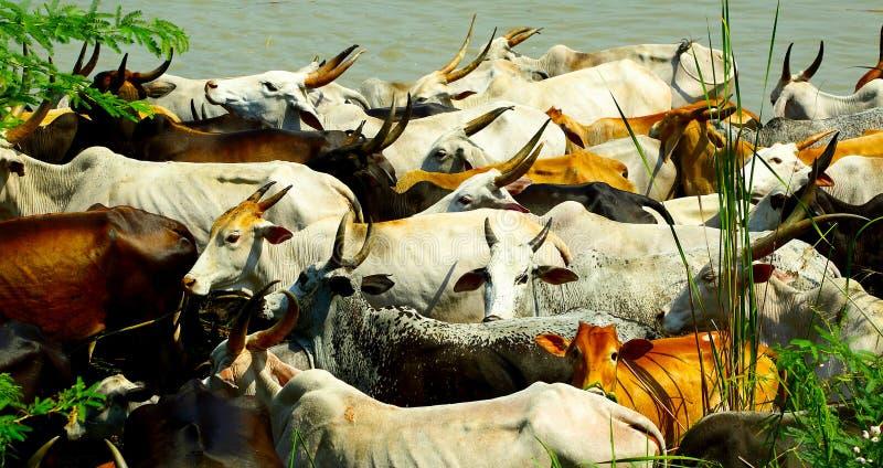 Indische Zuchtrinderherde, die in der heißen Sonne weidet stockbild
