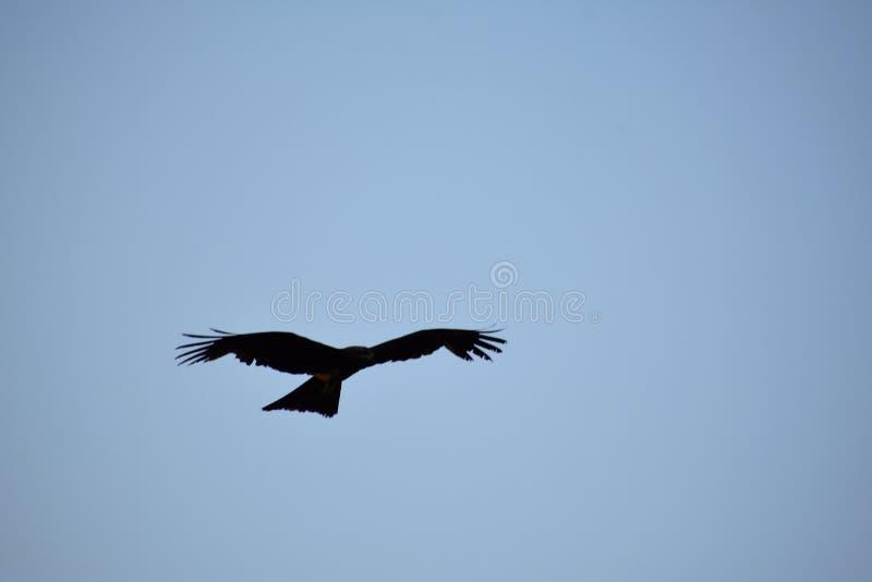 Indische zwarte pariavlieger die in de hemel vliegen royalty-vrije stock fotografie