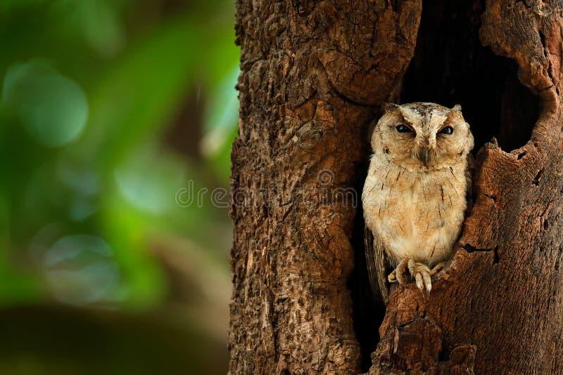 Indische Zwergohreule, Otus bakkamoena, seltener Vogel von Asien Schöne Eule Malaysias im Naturwaldlebensraum Vogel von Indien Fi stockfotografie