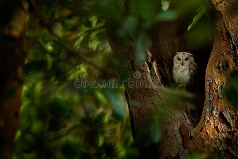 Indische Zwergohreule, Otus bakkamoena, seltener Vogel von Asien Schöne Eule Malaysias im Naturwaldlebensraum Vogel von Indien Fi stockbilder