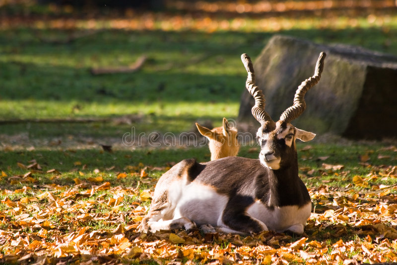 Indischer Antilope oder Blackbuck stockbilder