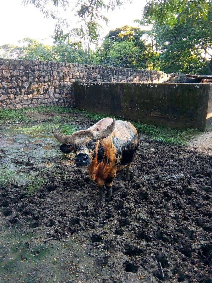 Indischer Bison lizenzfreie stockfotografie