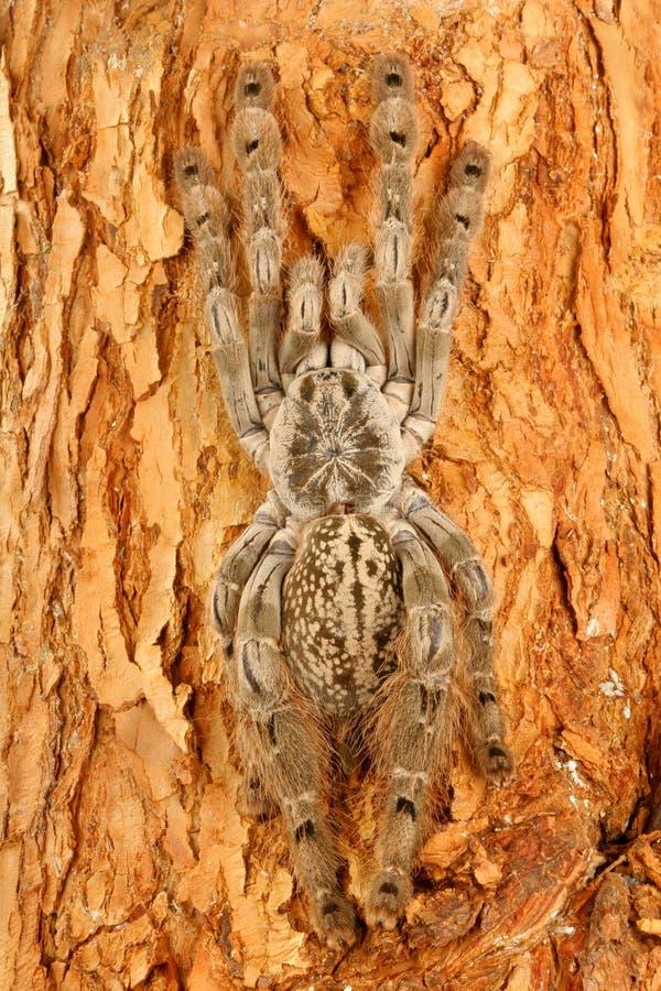 Indischer dekorativer Tarantula stockbilder