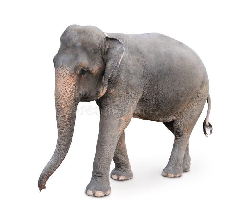 Indischer Elefant lizenzfreies stockfoto