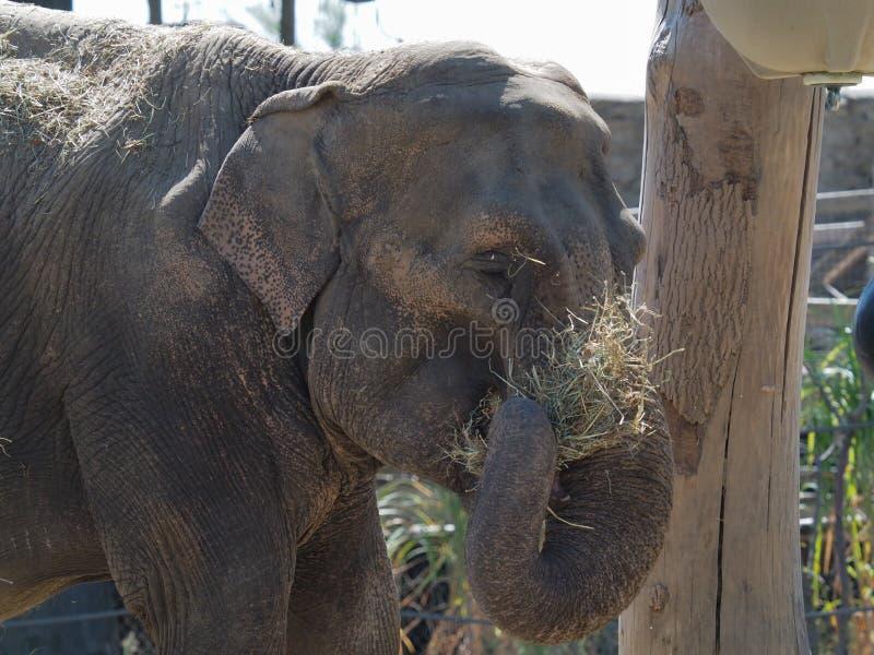 Indischer Elefant, der Stroh isst lizenzfreie stockbilder