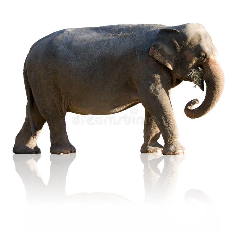 indischer elefant mit ausschnittspfad und reflexion