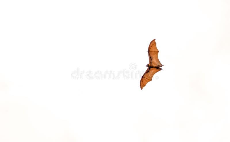 Indischer Flughund fliegt, obenliegende Ansicht lizenzfreies stockfoto