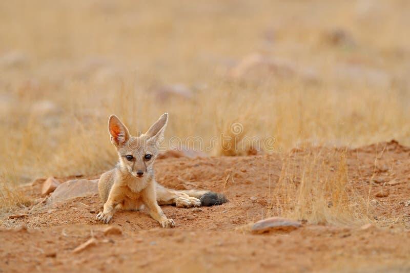 Indischer Fox, Vulpes bengalensis, Nationalpark Ranthambore, Indien Wildes Tier im Naturlebensraum Fox nahe Nestgrundloch Wildli lizenzfreies stockbild