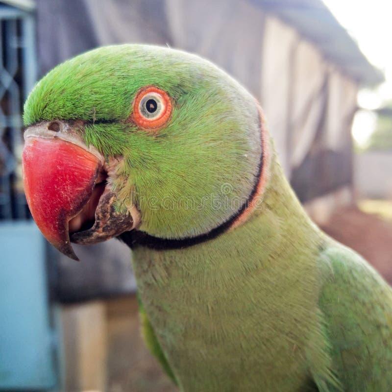 Indischer grüner Papagei lizenzfreies stockfoto