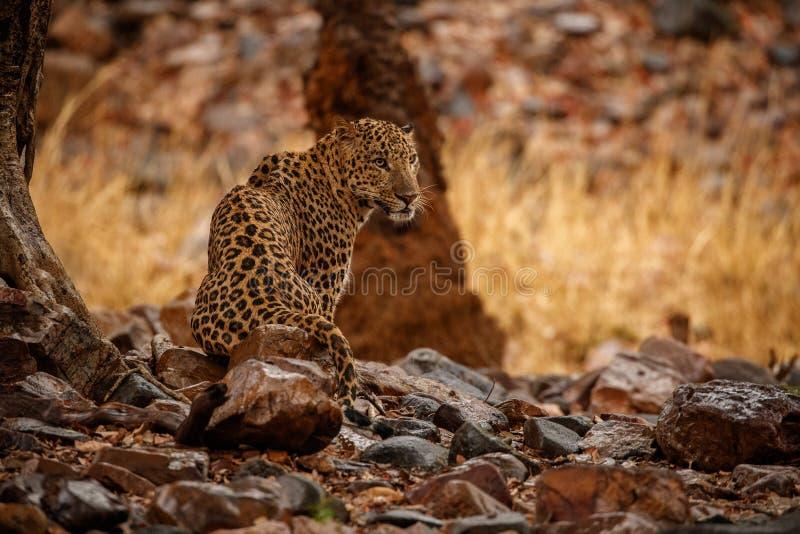 Indischer Leopard im Naturlebensraum Leopardstillstehen lizenzfreies stockfoto
