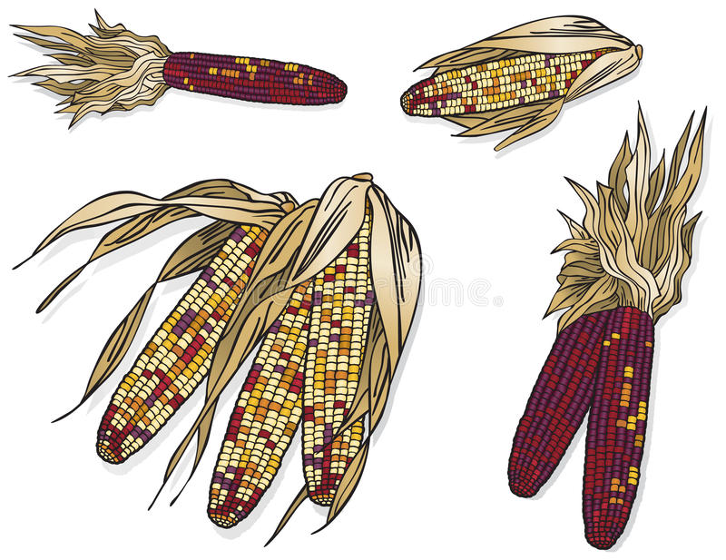 Indischer Mais vektor abbildung