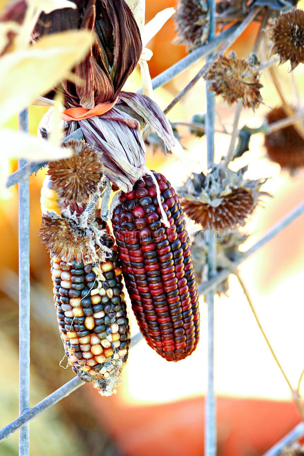 Indischer Mais auf Zaun lizenzfreie stockbilder