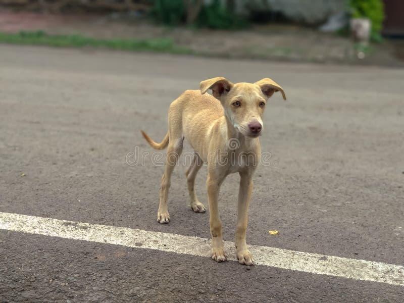 Indischer netter Hund auf Straße stockfotos