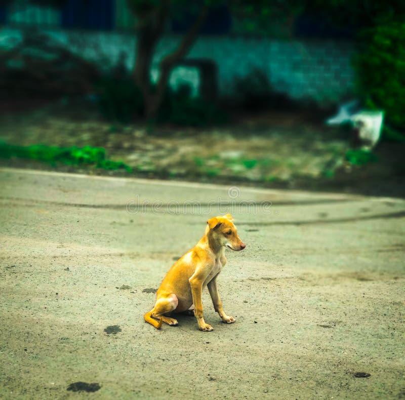 Indischer netter Welpe im Park lizenzfreies stockfoto