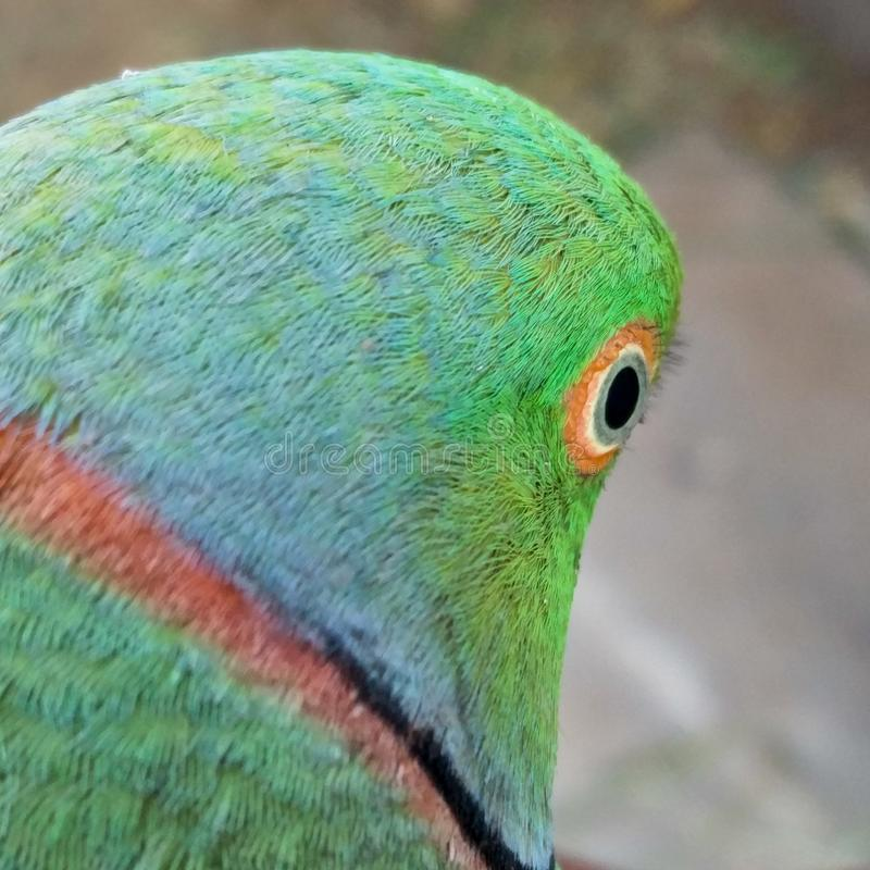 Indischer Papagei stockbild