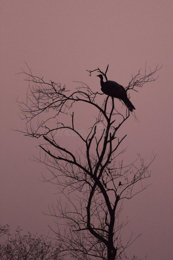 Indischer Peafowl auf der Baumspitzeniederlassung lizenzfreie stockbilder