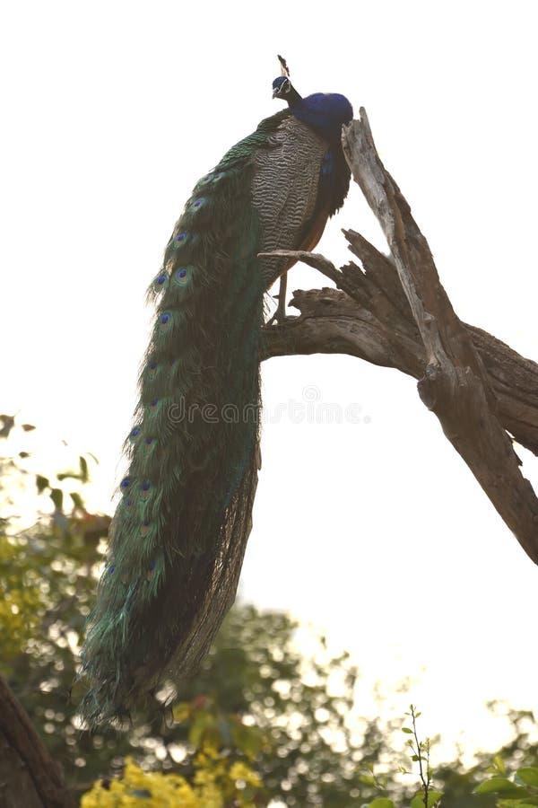 Indischer Peafowl, der auf einem Baumast stillsteht lizenzfreies stockfoto