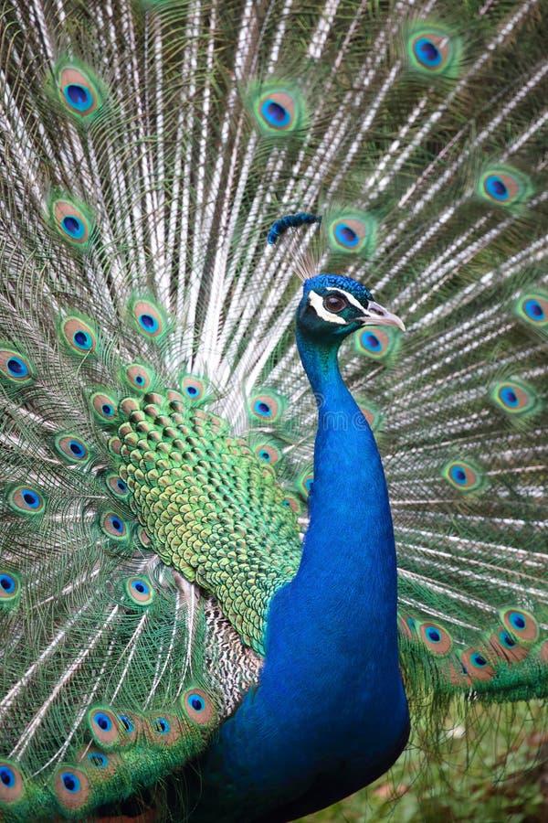 Indischer Peafowl mit geöffnetem Endstück stockbild