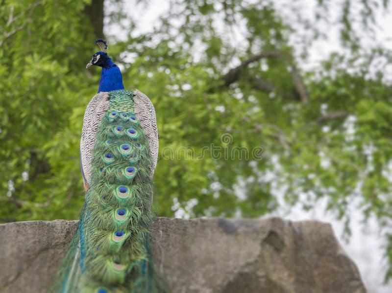 Indischer Peafowl oder blauer Peafowl Pavo cristatus, das auf Felsen, selektiver Fokus sitzt lizenzfreie stockfotos