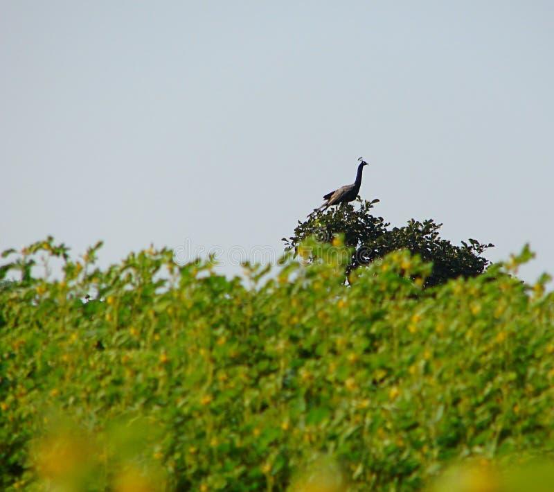 Indischer Peafowl - Pfau - sitzend auf einer Niederlassung auf Baum stockfotografie