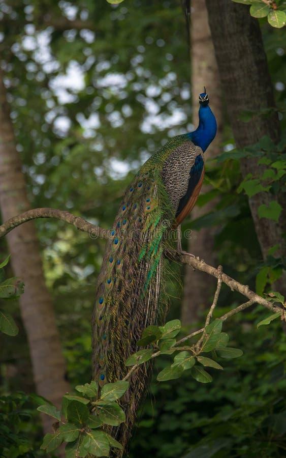 Indischer Peafowl-Vogel stockfoto