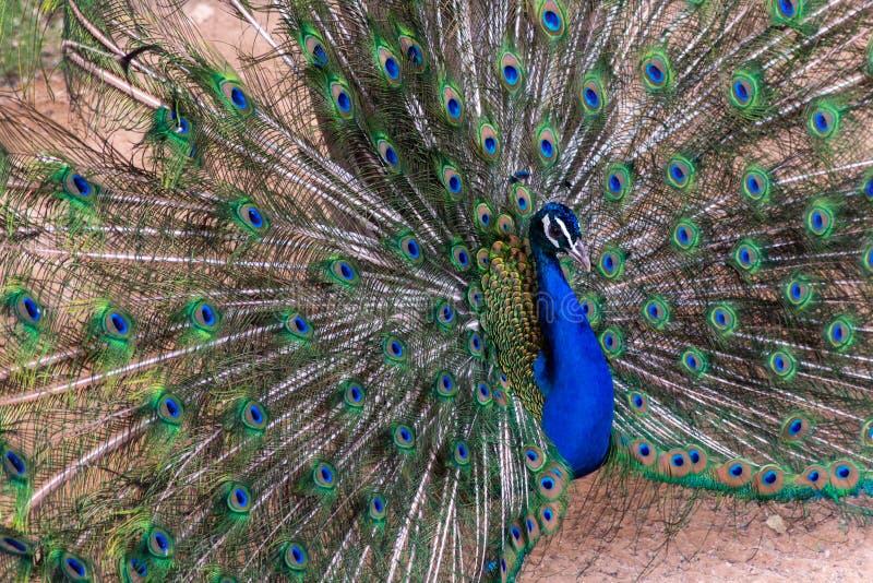 Indischer Pfau Pavo cristatus Mann, der seine Federn vorführen Farben verbreitet lizenzfreie stockfotos