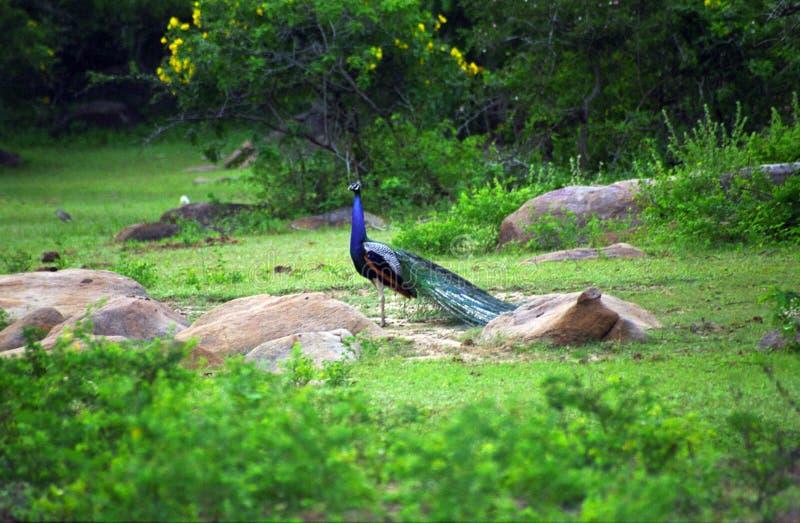 Indischer Pfau, Westnationalpark Yala, Sri Lanka stockfoto