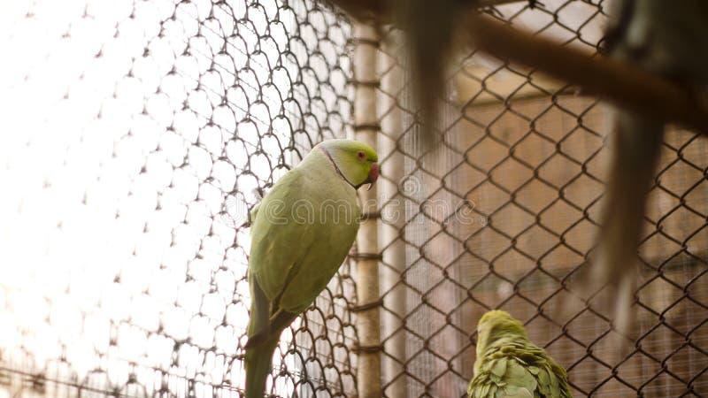 indischer Ringhals lizenzfreies stockbild