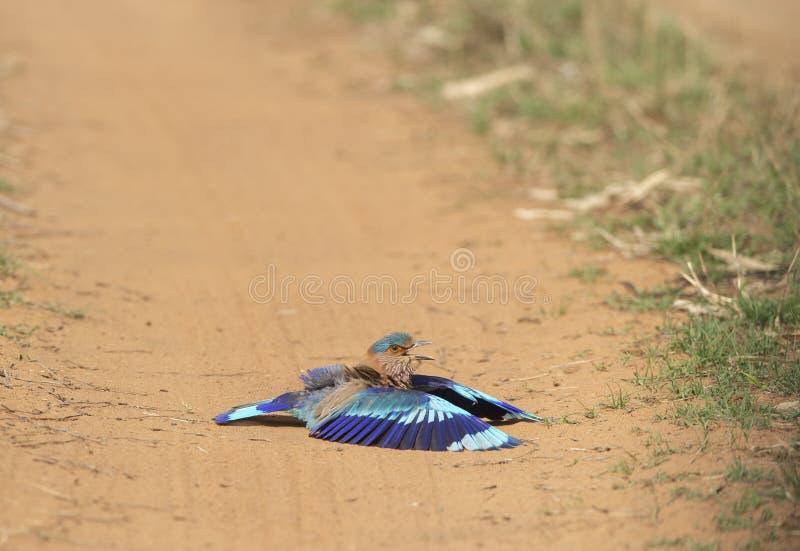 Indischer Rollen-Vogel, der Staub-Bad auf der Straße bei Tadoba Andhari Tiger Reserve, Chandrapur, Maharashtra, Indien nimmt lizenzfreie stockfotos