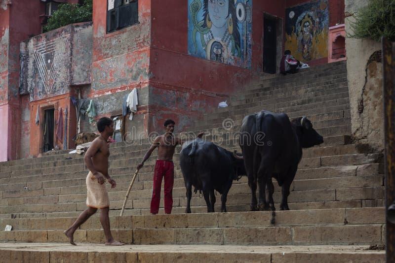 Indischer Schäfer, der die Kühe auf der Straße aufpasst stockfotografie