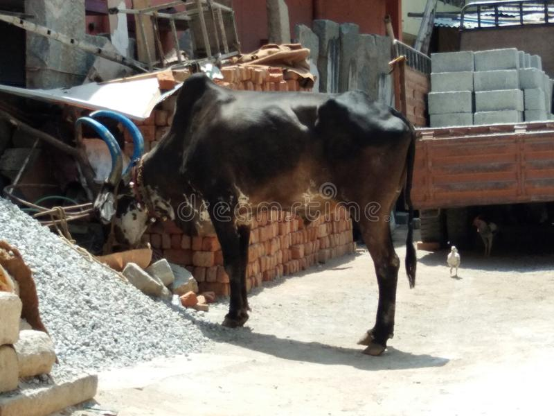 Indischer Stier stockbild