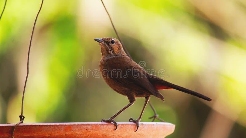 Indischer weiblicher Robin stockfotos