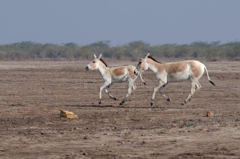 Indischer Wildesel LRK Gujarat lizenzfreie stockfotografie