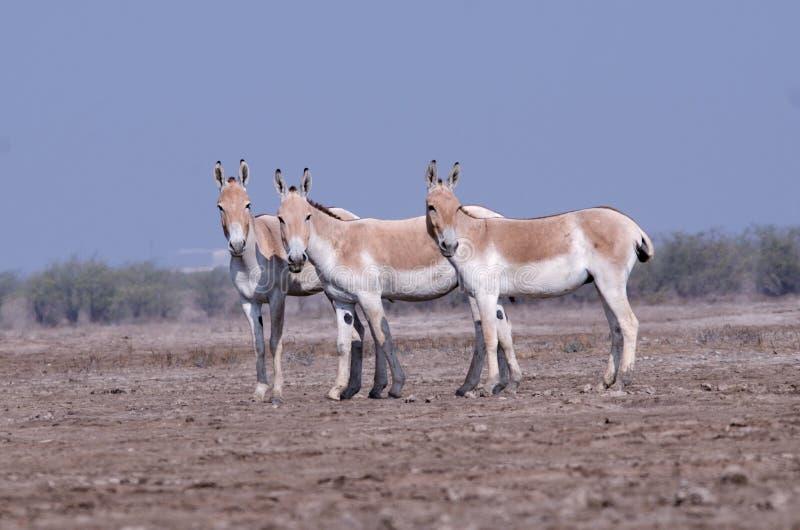 Indischer Wildesel LRK Gujarat stockbild
