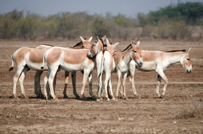 Indischer Wildesel LRK Gujarat lizenzfreie stockbilder