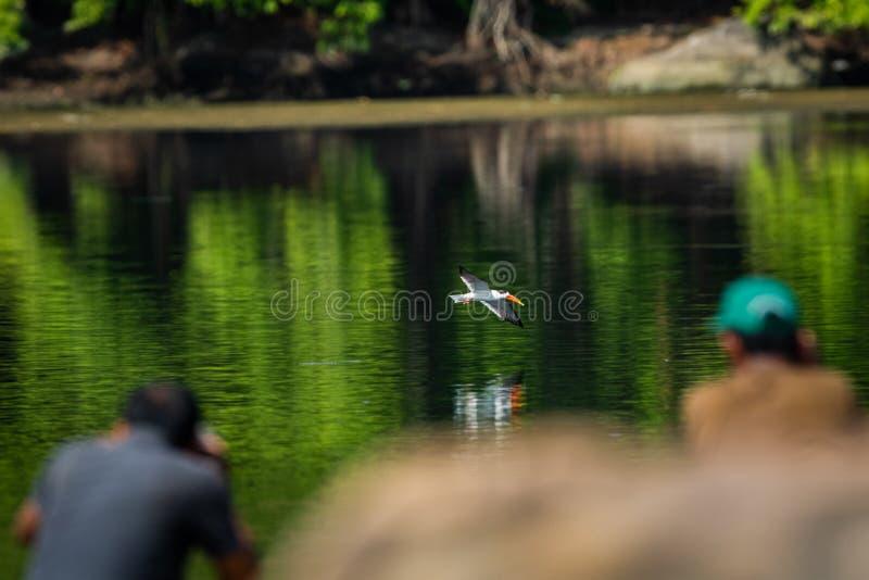 Indisches Abstreicheisen oder indisches Schererechnung Rynchops albicollis Gleiten und Fliegen ?ber chambal Fluss lizenzfreie stockbilder