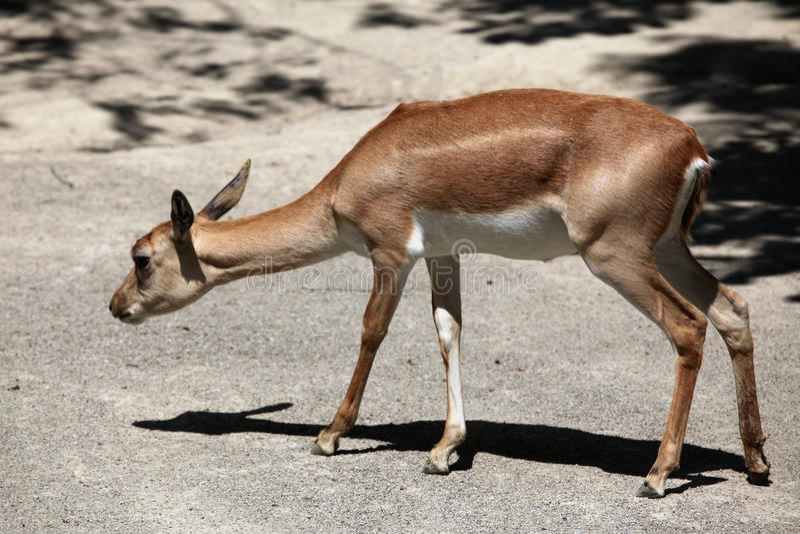 Indisches blackbuck (Antilope cervicapra) lizenzfreie stockfotos