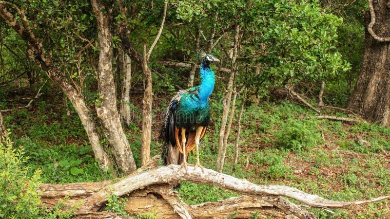 Indisches blauer Peafowl Pavo cristatus, das auf einem Baumast sitzt stockbild
